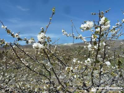 Cerezos en flor en el Valle del Jerte - contraste floración Jerte;camino a casa pueblos de españa